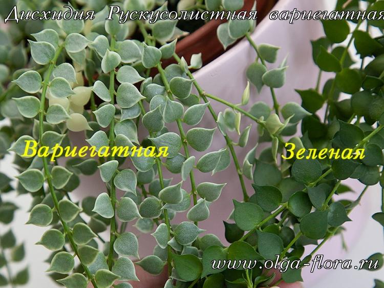 Дисхидия Рускусолистная  (Dischidia ruscifolia) обычная и вариегатная 9fmxdco36jwv32vzauh9nnal2xk5zkm8