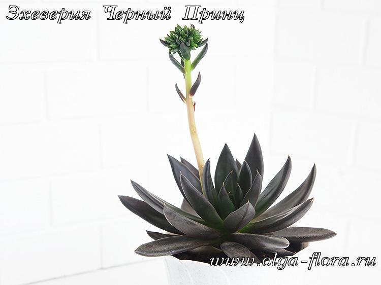 Эхеверия Черный Принц (Echeveria Black Prince) A0sbnmuc3okk5mo8l8pgag3eenuvxn79
