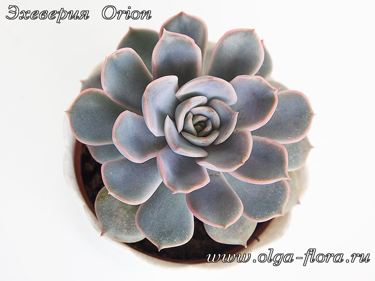 Эхеверия Orion  Aemglz9w2di0d71cigfuw3mozfgpebpo