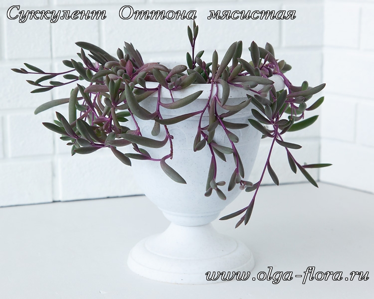 Оттона мясистая Рубиновое Ожерелье (othonna capensis 'ruby necklace) Cpbnh1erfttm1mu3d0mdpzxopvxz4lif