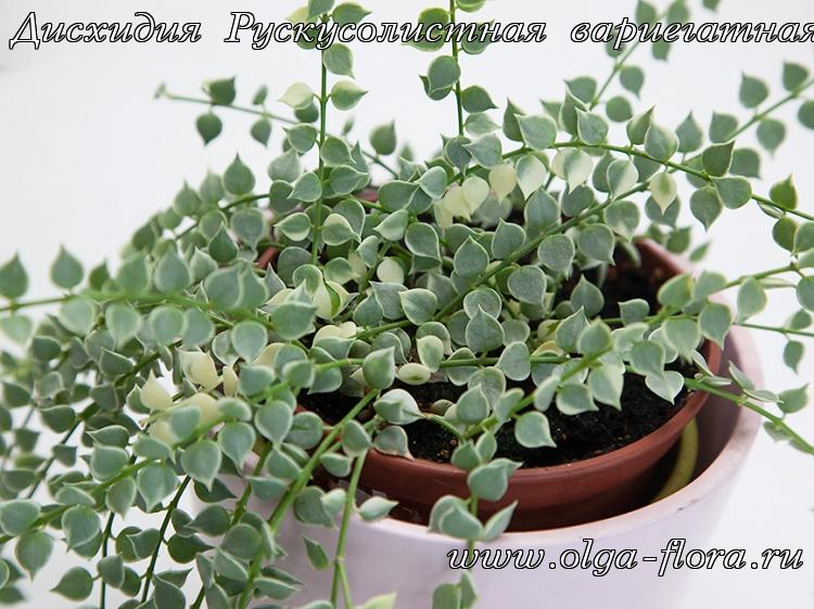 Дисхидия Рускусолистная  (Dischidia ruscifolia) обычная и вариегатная E7e6oyprpsutqj5zw0ziyt62xemz331h