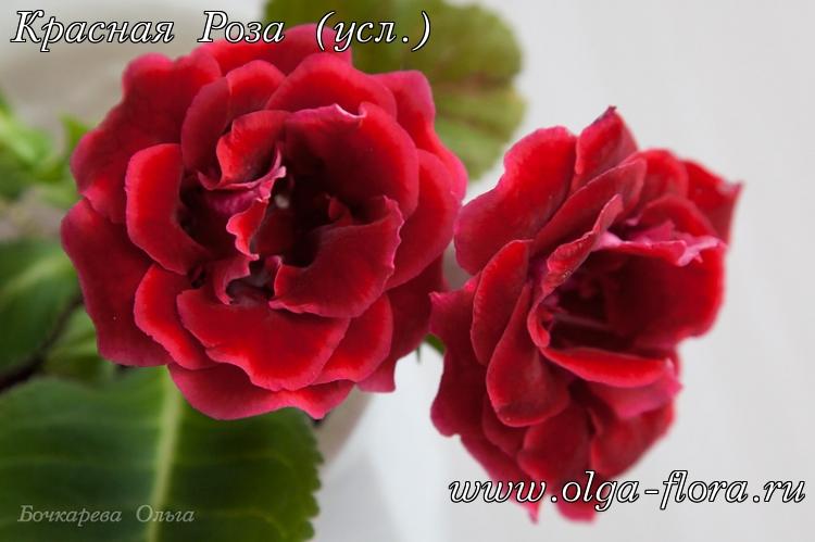 Красная Роза (усл.)  Ecopgfc9g9xpgwnljn19he6xpghklqq1
