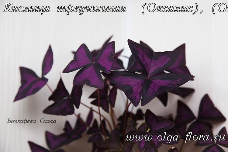 Оксалис (кислица) - Страница 2 Exqwfp9yu51a0970sgvdmcaqywjpbs4q