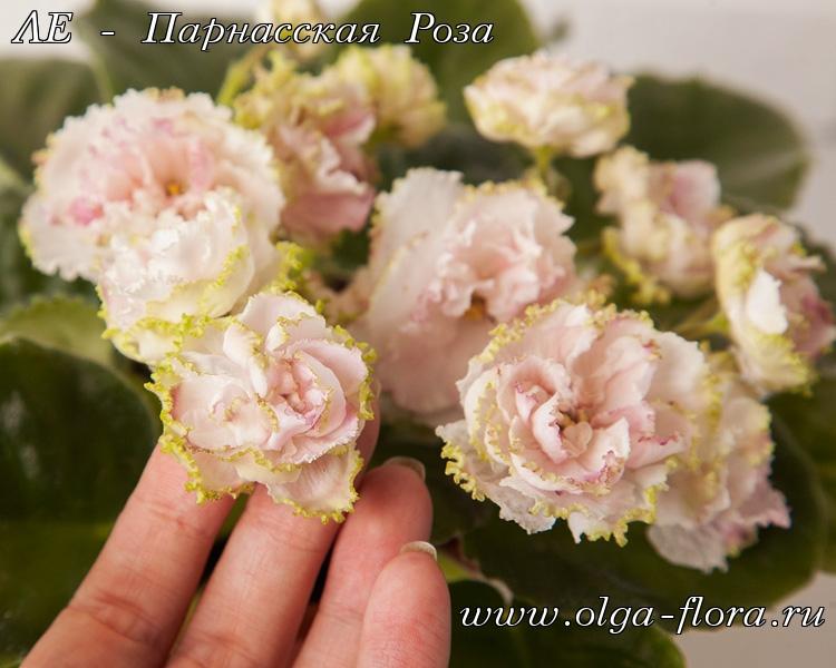ЛЕ - Парнасская Роза (Лебецкая) Fd63xjbjkd8r9lbsgz1s0ue5jgb37ddm