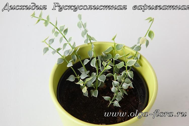 Дисхидия Рускусолистная  (Dischidia ruscifolia) обычная и вариегатная Gqdld7hqzw4o82hs6tii18em1y2ao0r5
