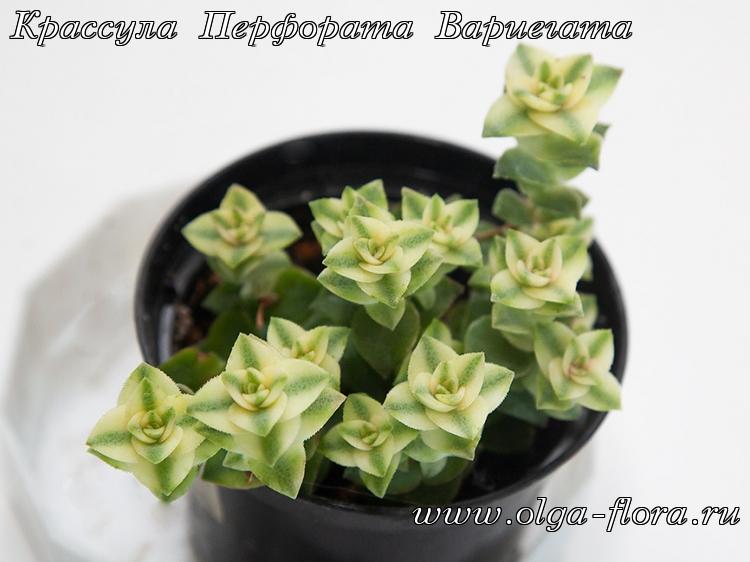 Крассула Перфората Вариегата (Crassula Perforata variegata) Hls2pj06ik5jccv11pzwq2fj1mqv4fkl