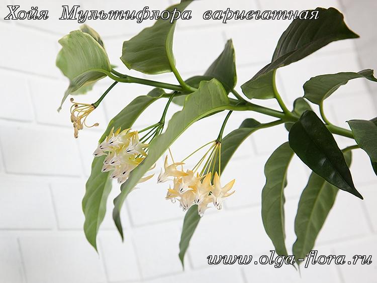 Хойя Мультифлора вариегатная (Hoya Multiflora var.) I5szljsv4ytkroixydww78yq3jzpgrvy