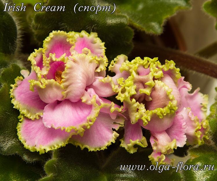 Irish Cream (спорт) (*LLG/ S. Sorano*)  Jc1cpyilba5mffap0zeeh7bje3v14mzm