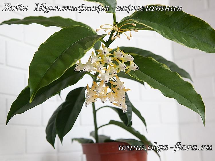 Хойя Мультифлора вариегатная (Hoya Multiflora var.) Jkcmhhrtaj6xhtux7avyxsa3jvk9mxs6