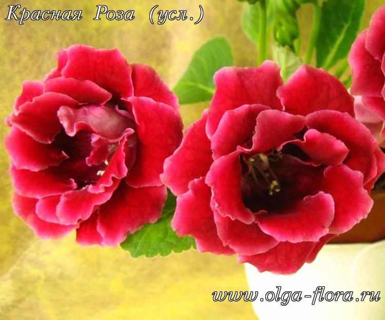 Красная Роза (усл.)  Ju9nf7m1k3zy4g5v3u2s1596ryb9iap3