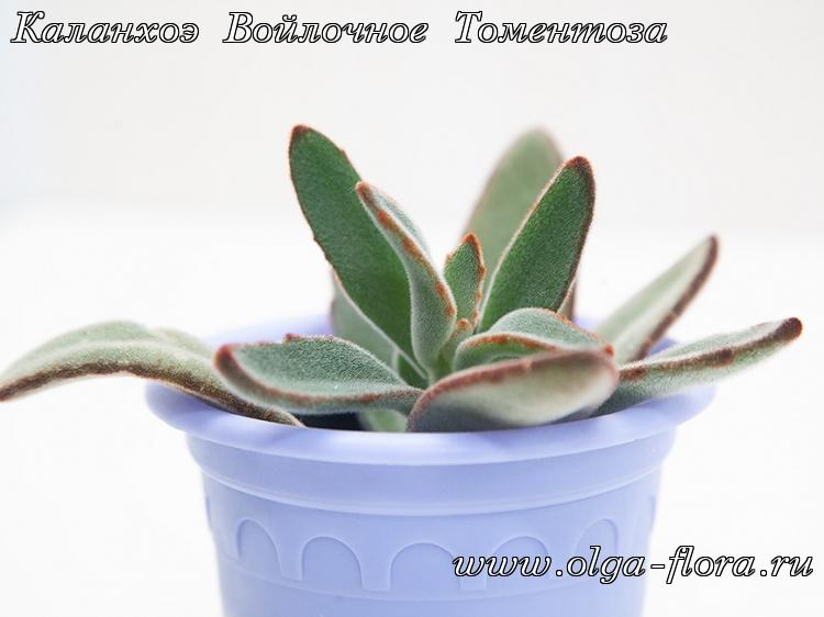 Каланхоэ Войлочное Томентоза (Kalanchoe tomentosa) Kl29tn98k7cctyhuws5n4u27ymc9ib84