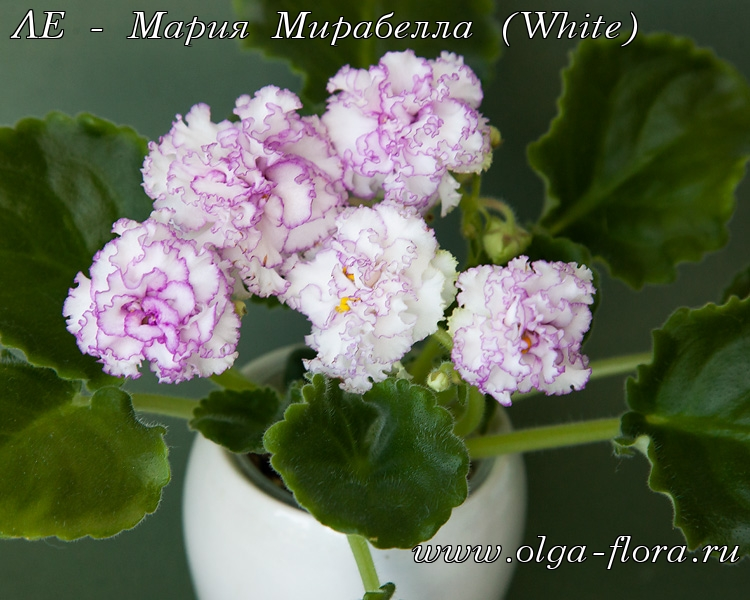 ЛЕ - Мария Мирабелла (White) (Лебецкая) Kxxh79x7jg6o8x63r05lybqyeijdzu2k