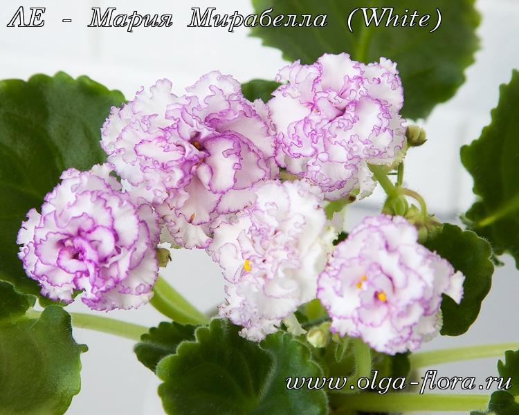 ЛЕ - Мария Мирабелла (White) (Лебецкая) O3lax9bf1aiy5rshvu42to86z3rkzhbn