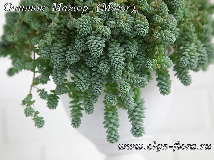 Очиток Мажор (Major) (Sedum Dasyphyllum)  - Страница 2 Oeqd1rzwsnnfd2yiry1yjrzqgedvu32j