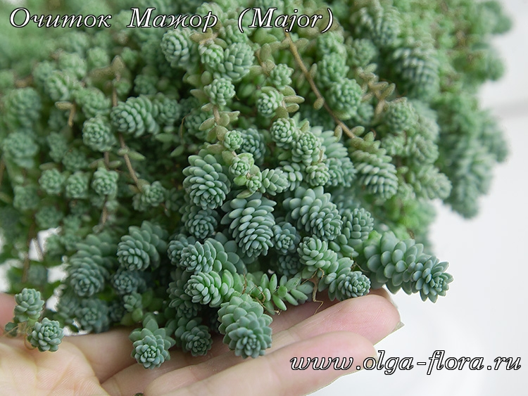 Очиток Мажор (Major) (Sedum Dasyphyllum)  - Страница 2 P9pkol2mw1oqmpdj6qzi8kq18oenfgp6