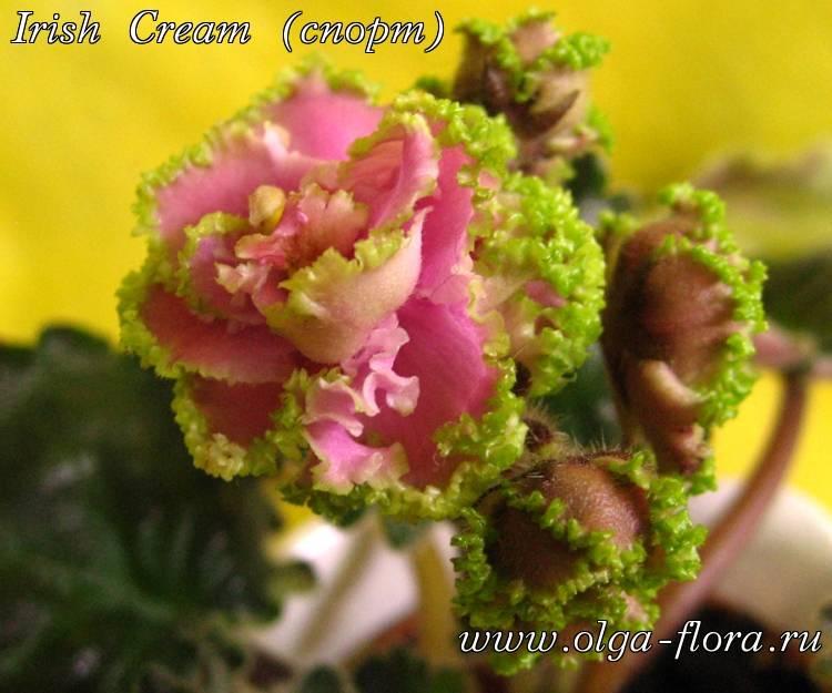 Irish Cream (спорт) (*LLG/ S. Sorano*)  Q1xoo5xa53c9cebo0j5o8candfzbhac8