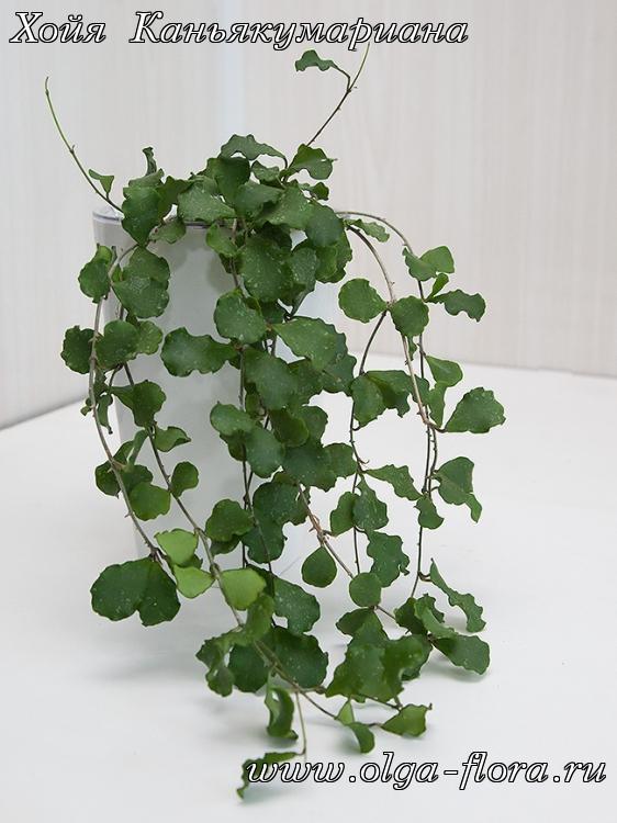 Хойя Каньякумариана (Hoya kanyakumariana) Q37g8esvkg7f51b52djwf6ur67mc07cz