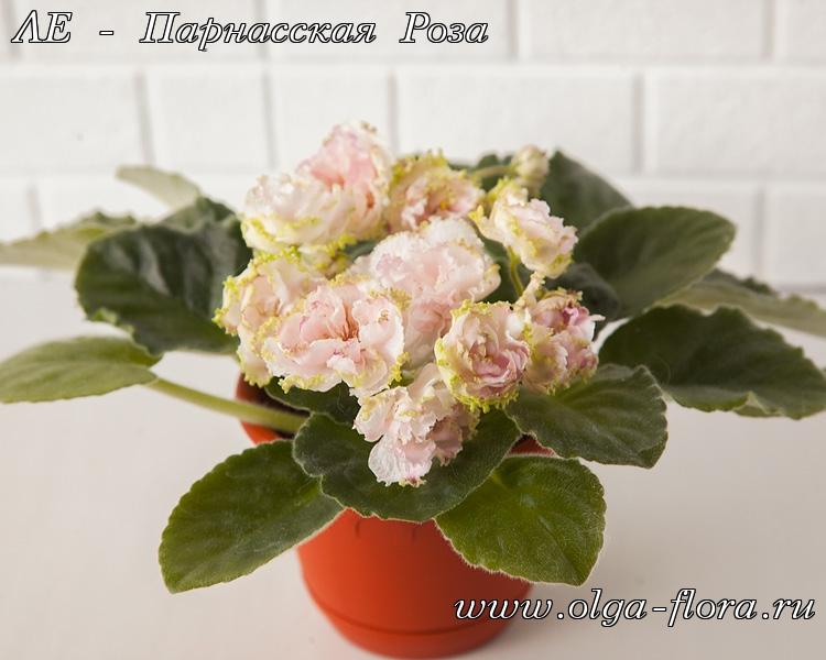 ЛЕ - Парнасская Роза (Лебецкая) Robunje0m12n7udkkvn8caulvp27jq2a