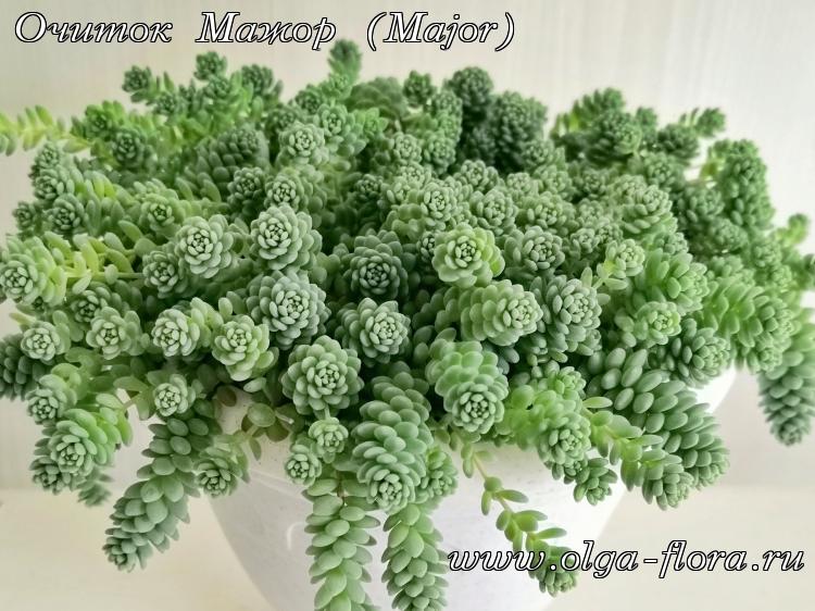 Очиток Мажор (Major) (Sedum Dasyphyllum)  - Страница 2 Sic3cng3wmfj7rxie1rlyppt2hnz775y