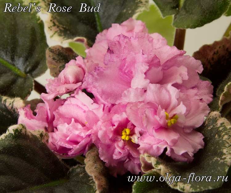 Rebel's Rose Bud(R. Bann) - Страница 2 Sl3vq8r47o9lhx9y87z39fy6v3ntecx7