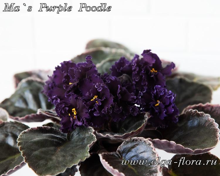 Ma`s Purple Poodle (O. Robinson)  Srkgdg8fnvrebiqumhsqfx3axk8f3oyu