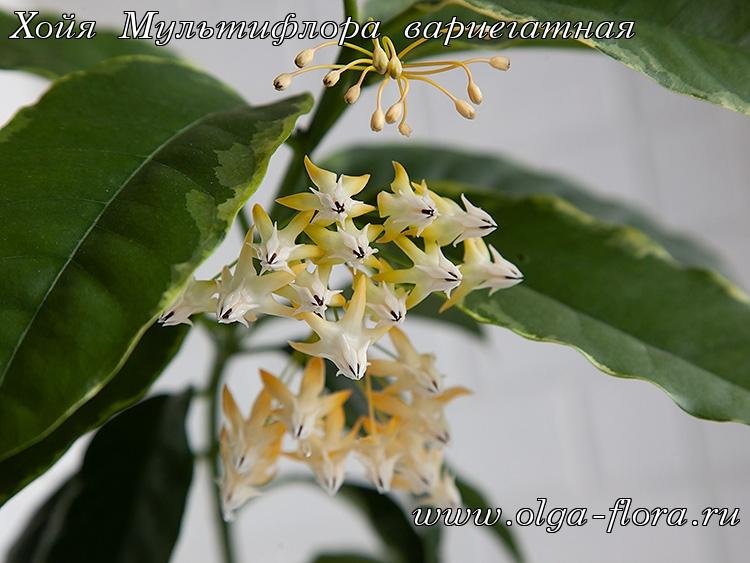 Хойя Мультифлора вариегатная (Hoya Multiflora var.) Tnu2d9c3f8iblw6d7waomz0vmik3o0eh