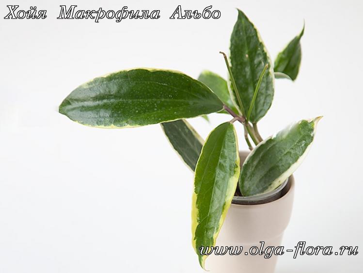 Хойя Макрофила Альбо (Hoya Macrophylla Albo) Tvvuaxl35pzd7pt0an2p0jgiqsqjpu0j