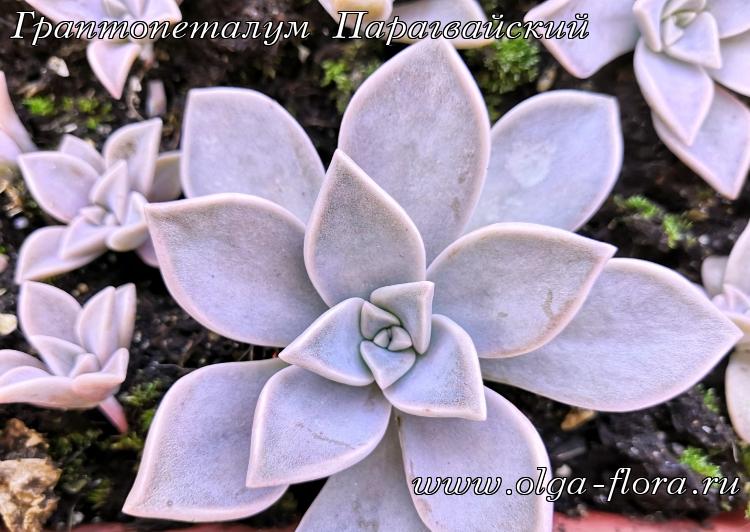 Граптопеталум Парагвайский (Graptopetalum paraguayense) Un876htjd4y9hqc5eoxhc3ie0of28jo3