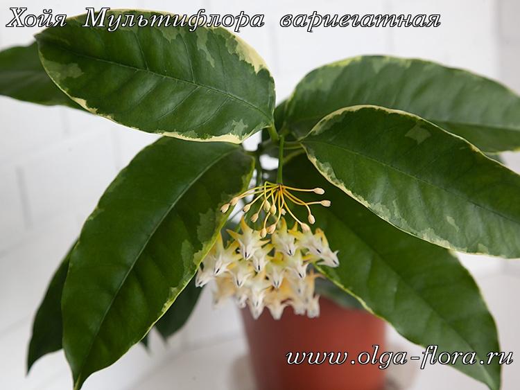 Хойя Мультифлора вариегатная (Hoya Multiflora var.) Us7s4w55bsscnxnxgdfxsnwb5rkhpqdj