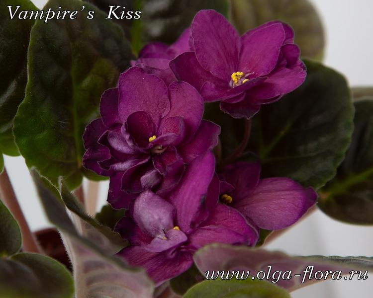 Vampire's Kiss   (G. Boone) V1xb46ggtf795ks8gu2wph8xeu61jsee