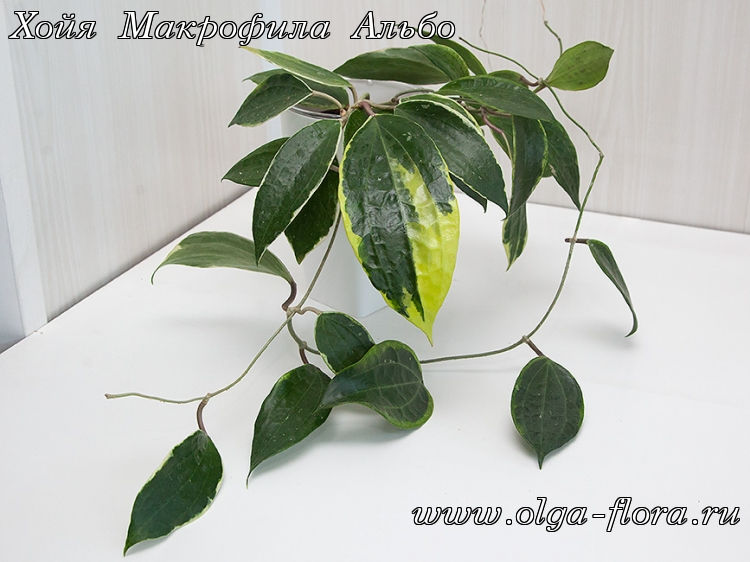 Хойя Макрофила Альбо (Hoya Macrophylla Albo) Vxr71f3rr74w0hqg3ktsflhr97b9tw4p