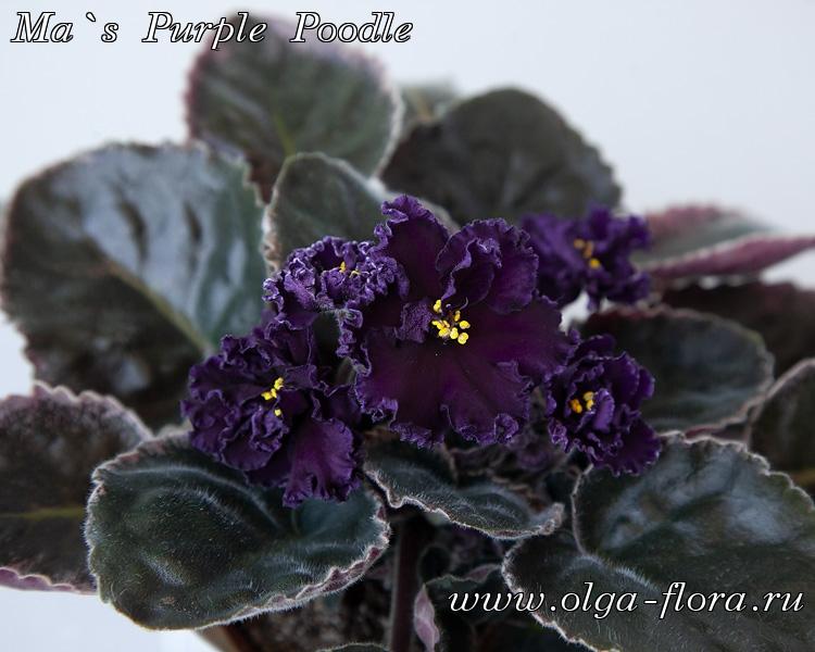 Ma`s Purple Poodle (O. Robinson)  Xn191lkvbp2pa4khgfcblwhf439zokfm
