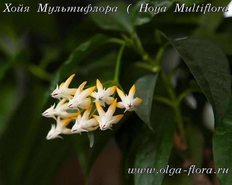 Хойя Мультифлора  - Страница 3 Xq7t9lfyroxmkalpopg9beuhkxmlonmm