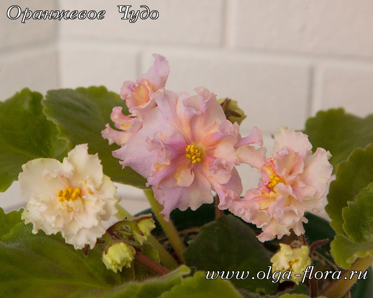 Sunkissed Rose     (LLG/D. Herringshaw) - Страница 7 Xyr9v81v5nlwhzw9y8ujeh508zuoa888
