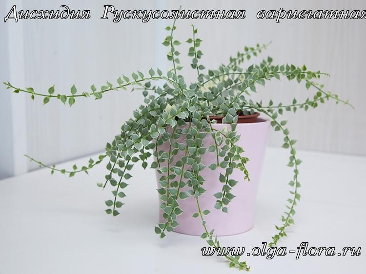 Дисхидия Рускусолистная  (Dischidia ruscifolia) обычная и вариегатная Zqqdqijk4r434xpb0c5zlpun449k2of1
