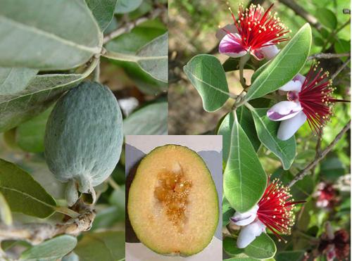 l'arbre fruitier de blucat  trouvé par Martin 20081018-15.%20Feijoa.Tris