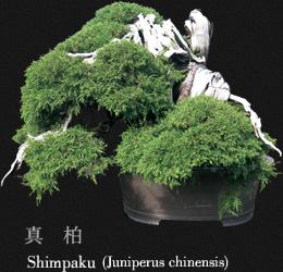 Гордость Мансеи-ен P_bonsai05