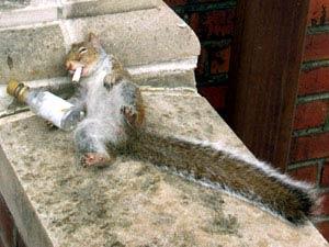 Coins de photos amusantes AUTRES que chiens et chats, n'hésitez pas à en rajouter Ecureuil_squirrel_drunk