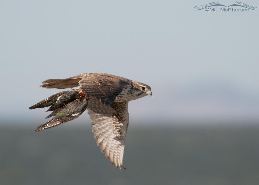 Falconiformes. sub Falconidae - sub fam Falconinae - gênero Falco - Página 2 Prairie-falcon-prey-mia-mcpherson-0074