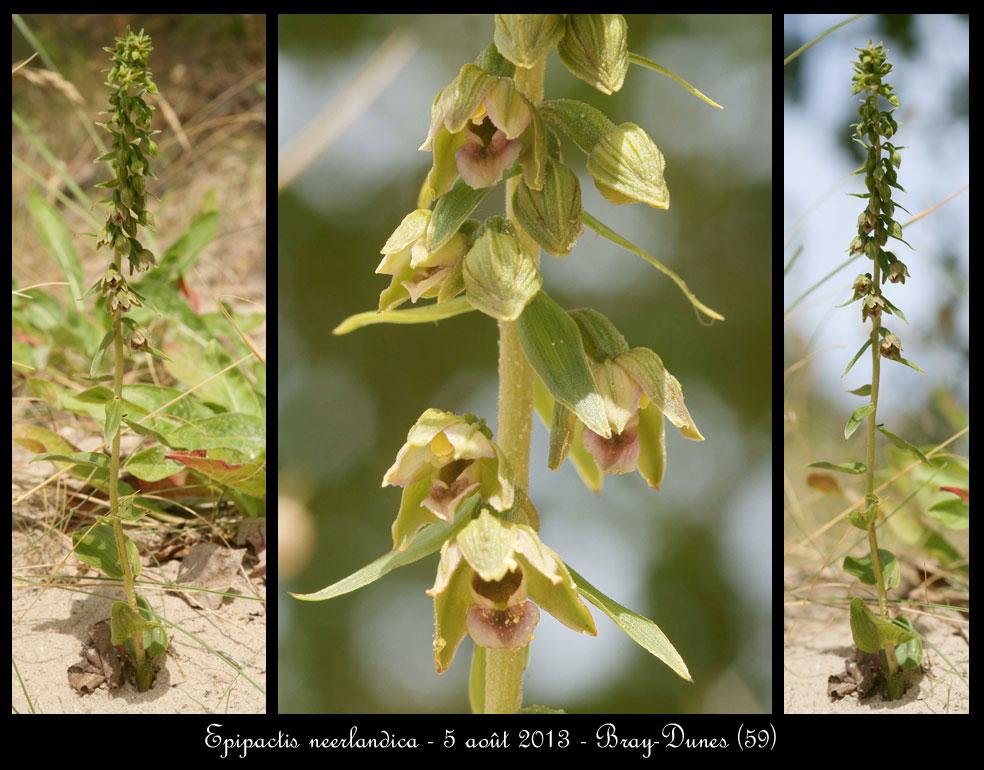 Epipactis neerlandica ( Epipactis des pays-bas ) Epipactis-neerlandica