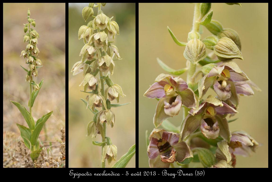 Epipactis neerlandica ( Epipactis des pays-bas ) Epipactis-neerlandica3