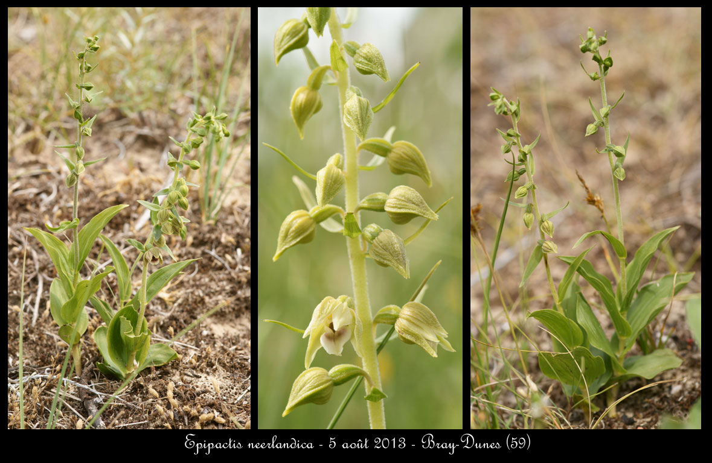 Epipactis neerlandica ( Epipactis des pays-bas ) Epipactis-neerlandica4