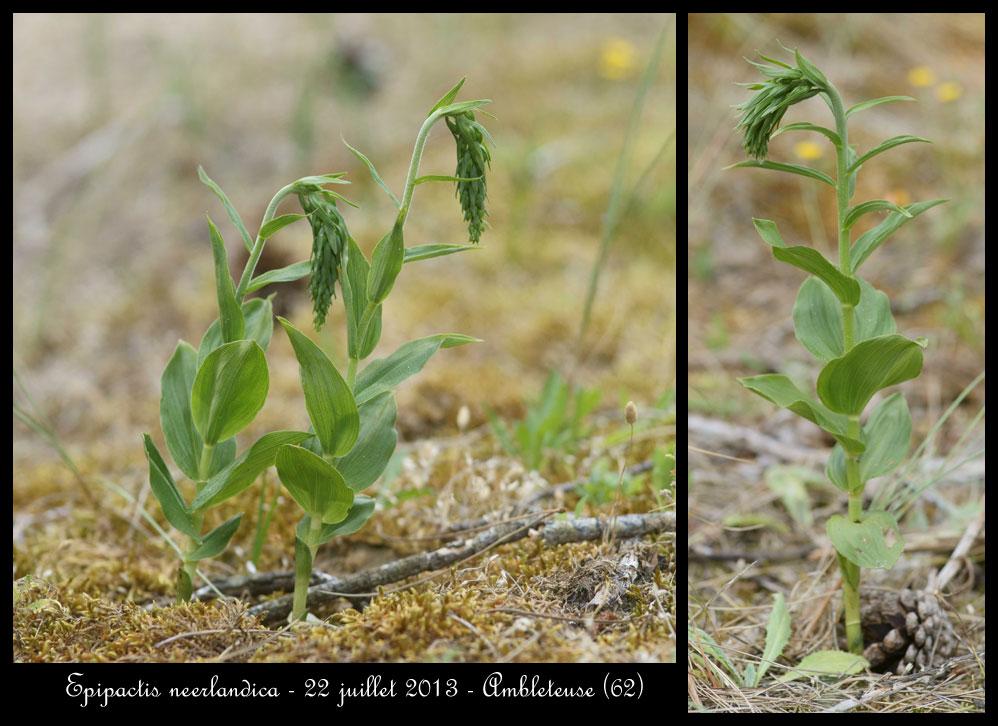 Epipactis neerlandica ( Epipactis des pays-bas ) Epipactis-neerlandica5