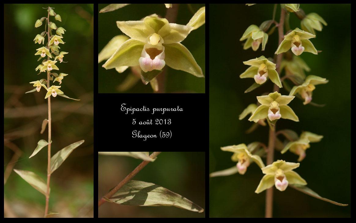 Epipactis purpurata ( Epipactis violacé ) Epipactis-purpurata