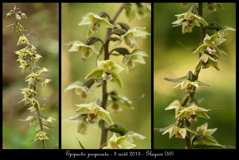 Epipactis purpurata ( Epipactis violacé ) Epipactis-purpurata2