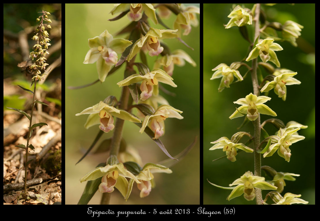 Epipactis purpurata ( Epipactis violacé ) Epipactis-purpurata4