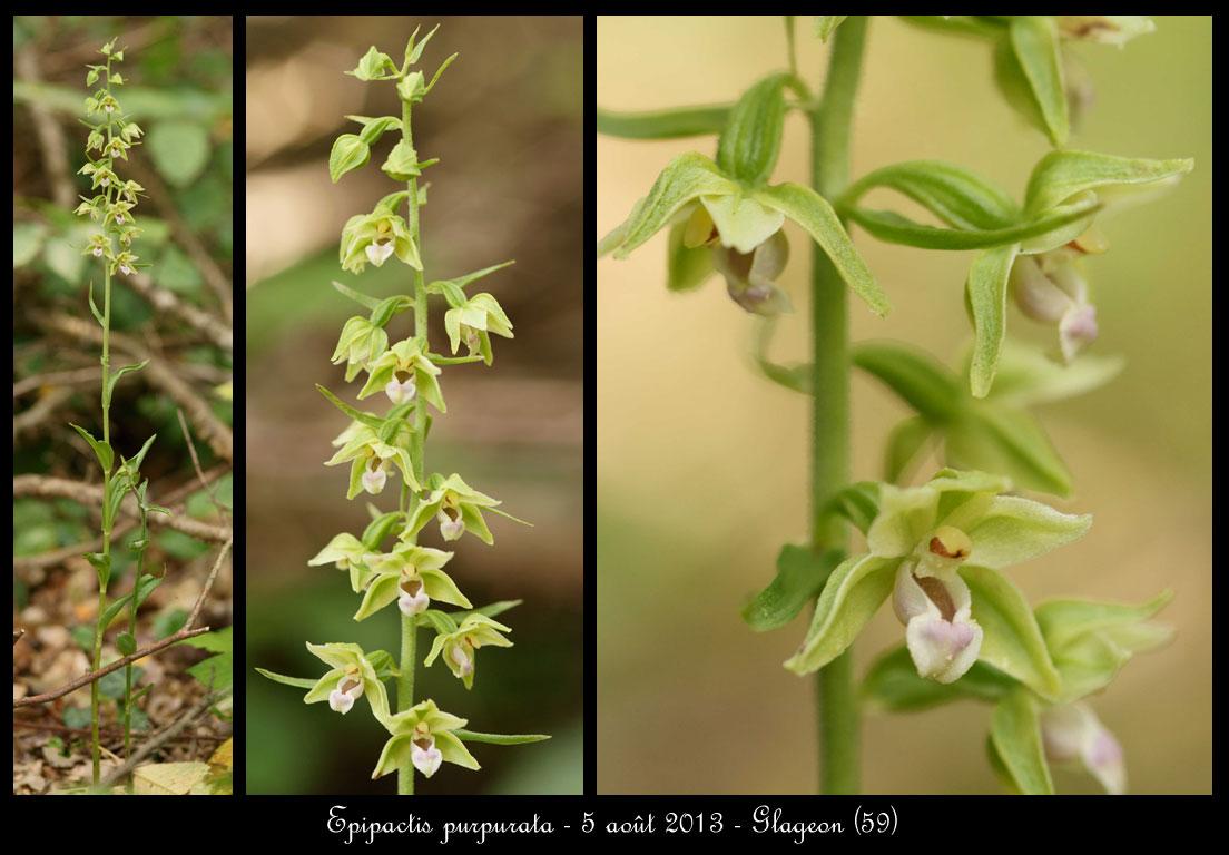 Epipactis purpurata ( Epipactis violacé ) Epipactis-purpurata5