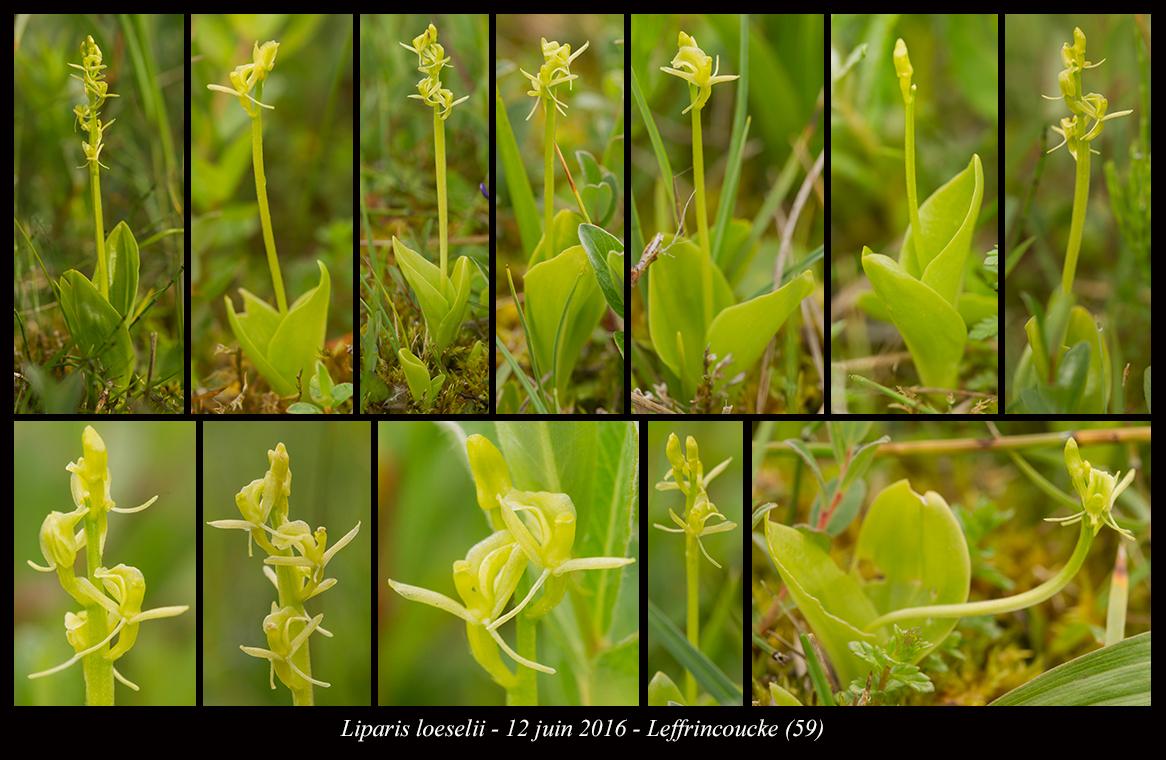 Liparis loeselii ( Liparis de Loesel ) Liparis-loeselii4