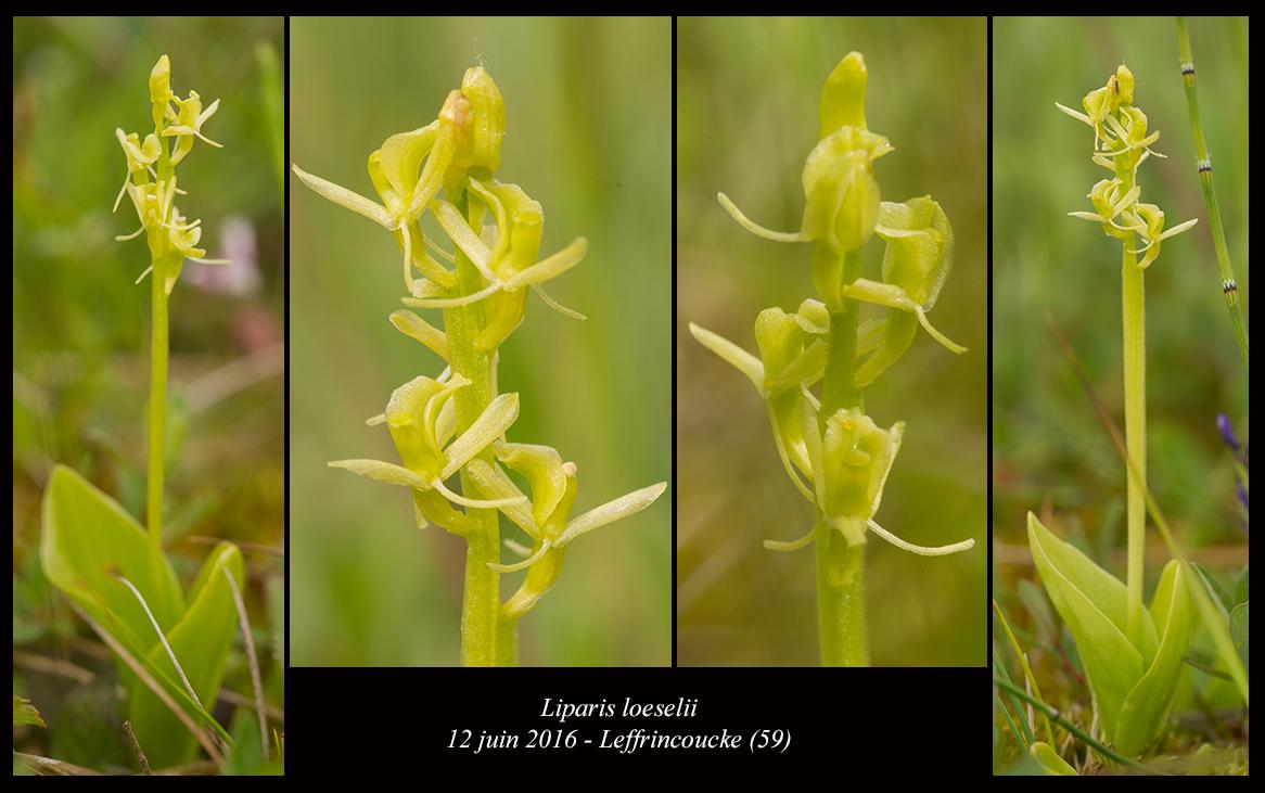 Liparis loeselii ( Liparis de Loesel ) Liparis-loeselii5