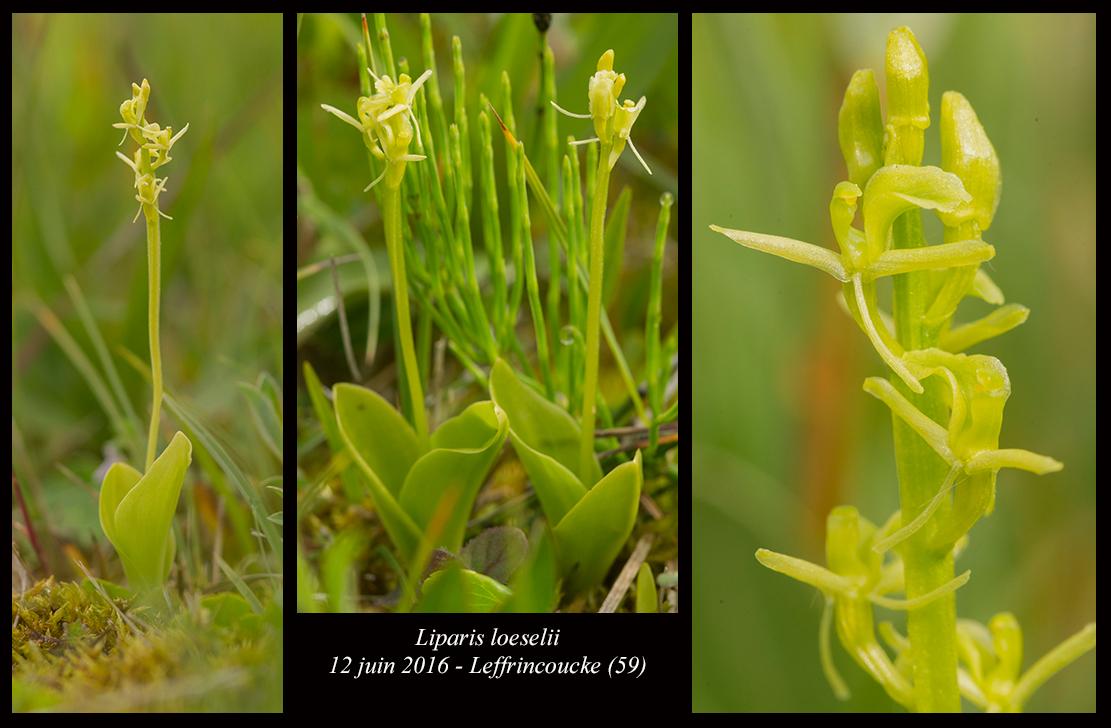 Liparis loeselii ( Liparis de Loesel ) Liparis-loeselii6